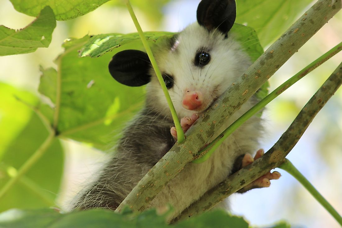 Opossum relaxing in a tree.