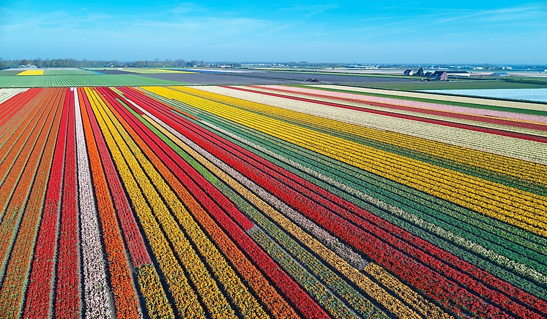 Bulb field in the Netherlands.