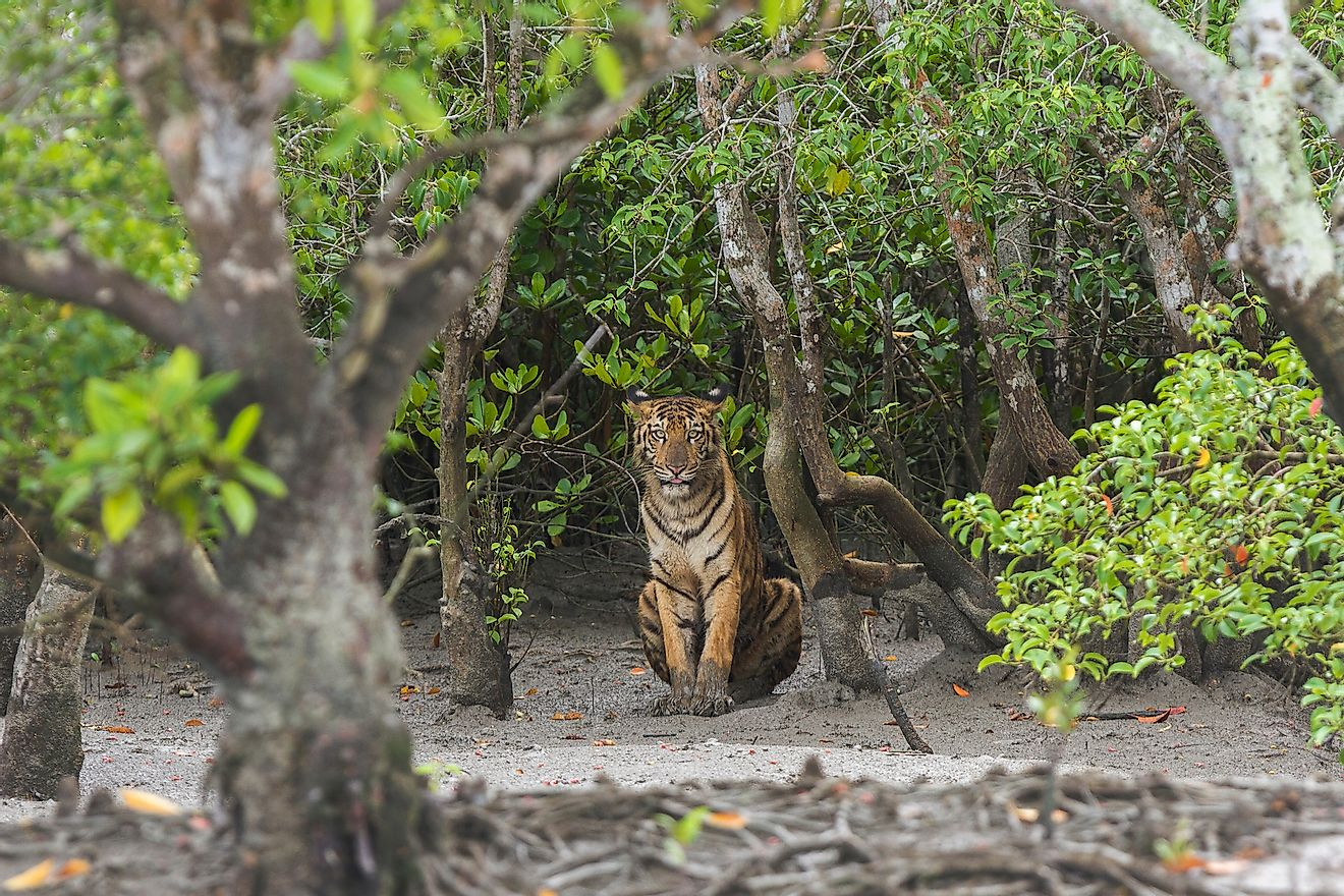 Young male Bengal Tiger sitting on the forest edge at Sundarban Tiger Reserve, West Bengal, India. Sundarbans is the world's largest mangrove forest. Image credit: Soumyajit Nandy