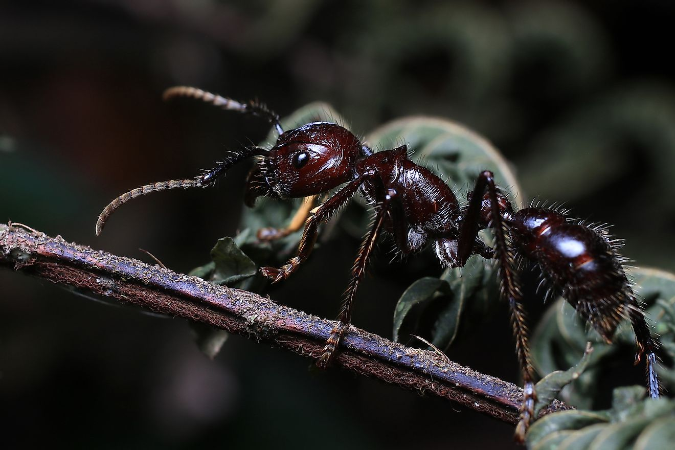 Bullet ants found in the Amazon rainforest are capable of delivering one of the most painful stings of any insect in the world. Image credit: Dan Olsen/Shutterstock.com