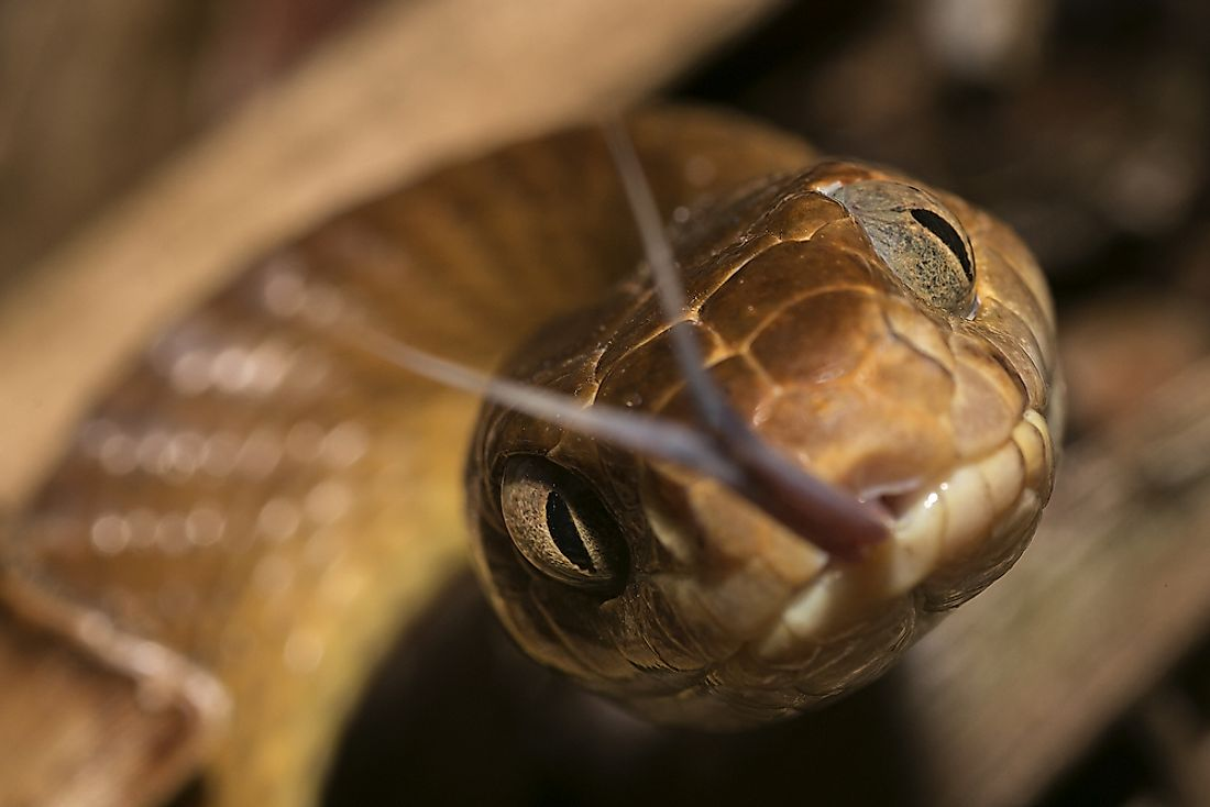 The brown tree snake is amongst the reptiles found in Papua New Guinea.