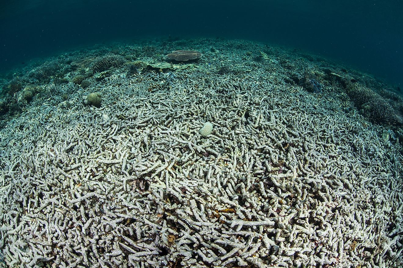 A coral reef in Indonesia has been turned from a diverse, healthy community to a desert of dead rubble. Ocean acidification is one of the major causes of coral reef destruction.
