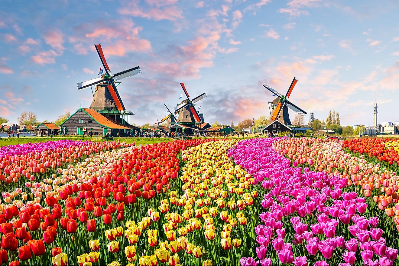 Tulips planted near the canal in Zaanse Schans, Netherlands, Europe