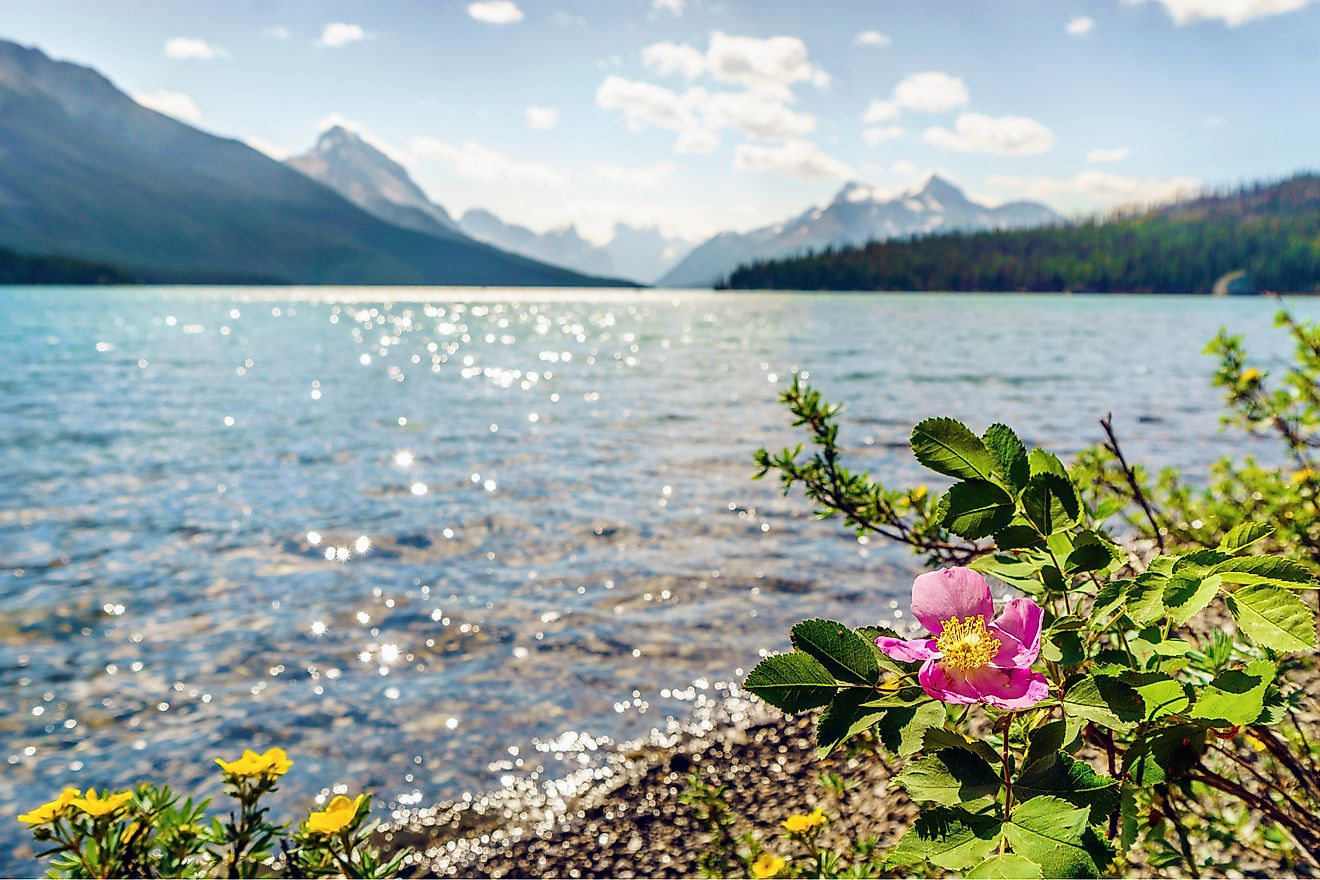 Blooming wild rose by Medicine Lake, Jasper National Park. Alberta, Canada
