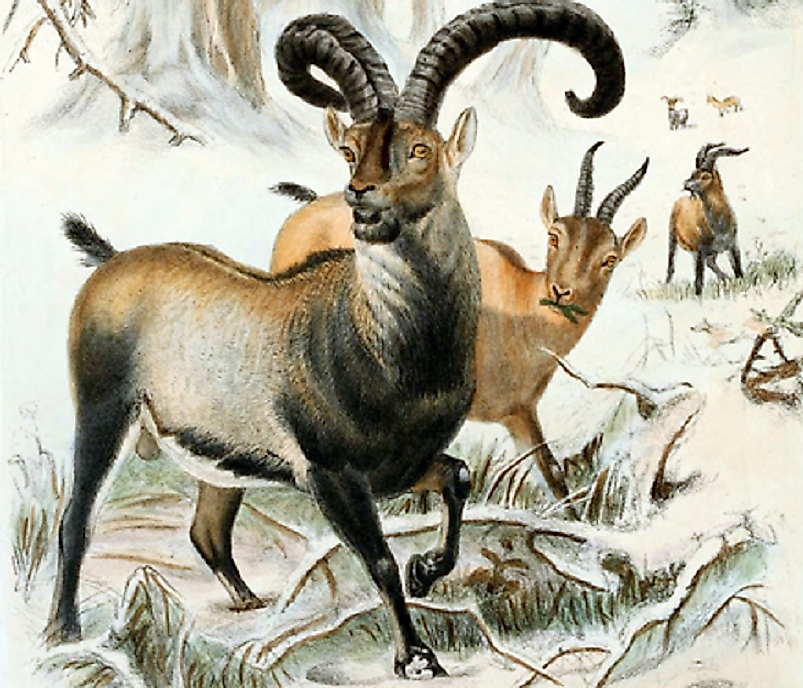 The Pyrenean Ibex is one of the most recent species to go extinct directly due to human activities.