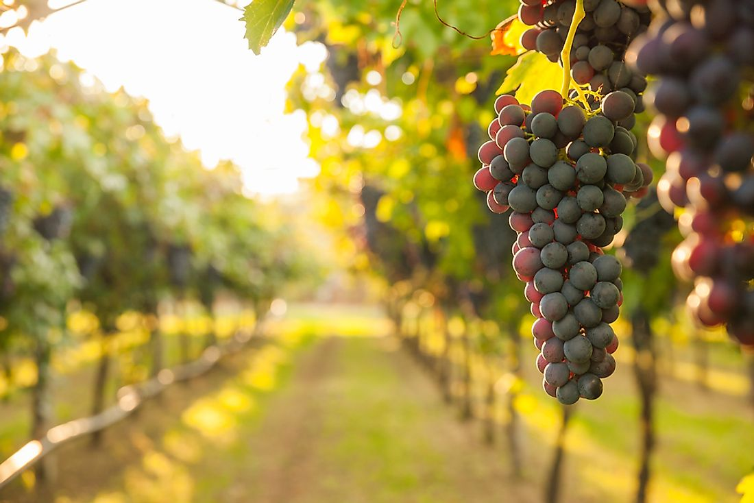 Grapes are grown around the globe apart from the Antarctica.