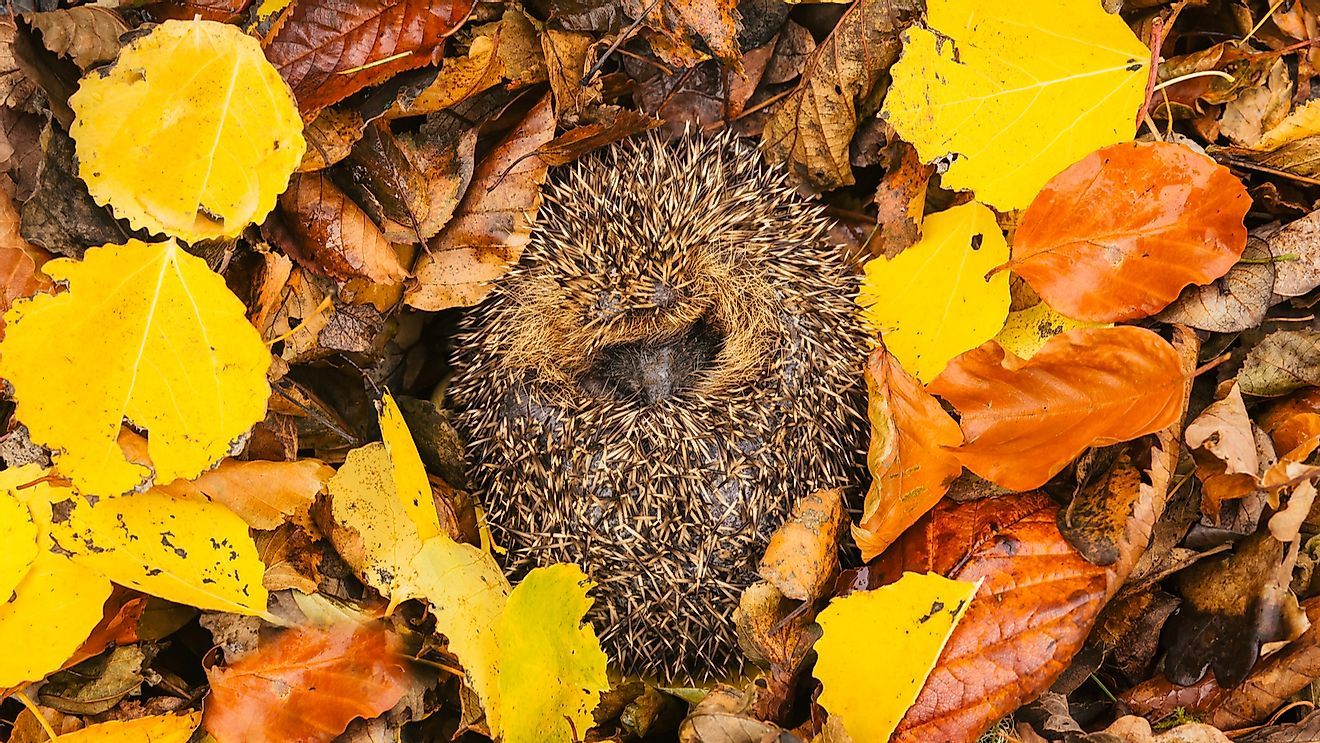 European hedgehog curled up into a ball, hibernating in colourful autumn leaves.