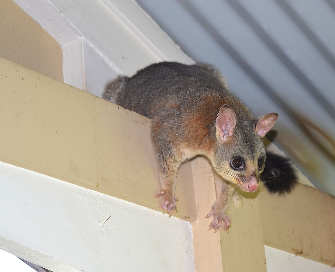 Opossum with inquisitive look climbed to the house veranda. Credit: lovemydesigns / Shutterstock.com