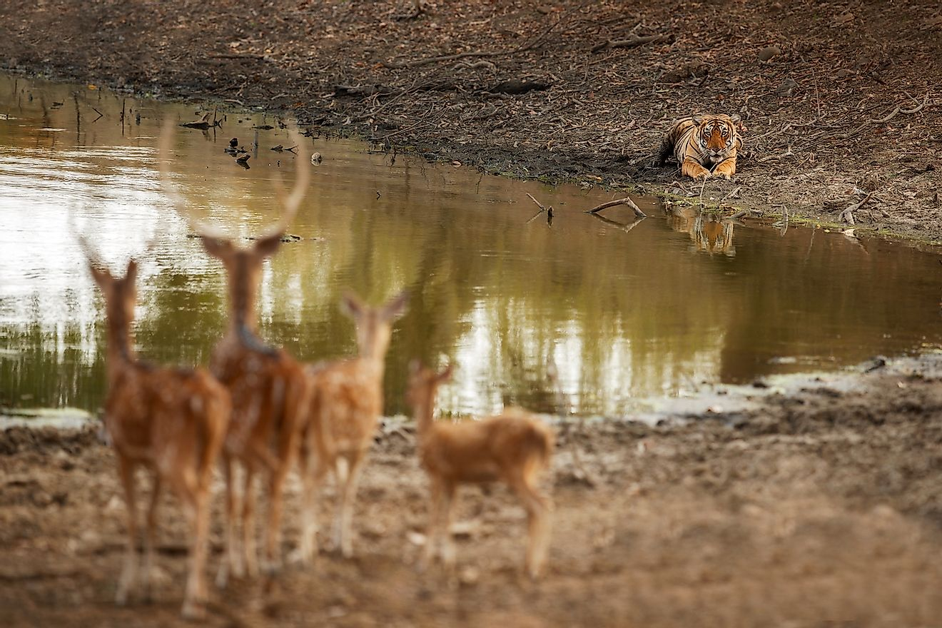 Deer on alter at the sight of a tiger, an apex predator, along the water body.