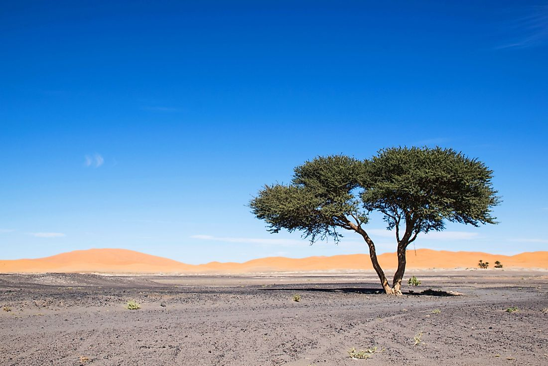 An acacia tree in the Sahara Desert.