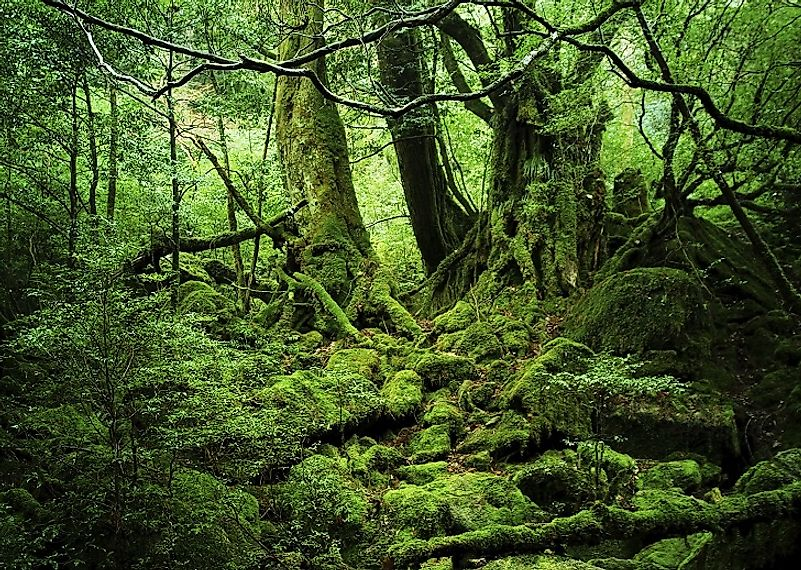 Thick tree and moss growth in the Yakushima woodlands.