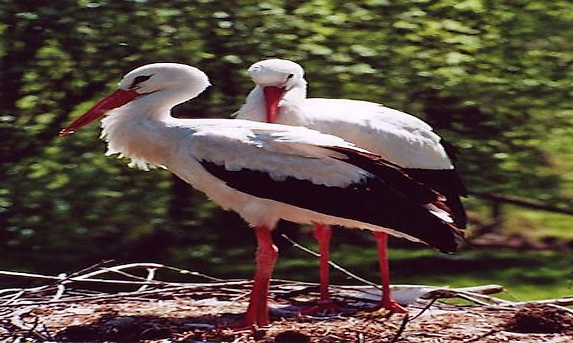 White storks at the El Kouf National Park