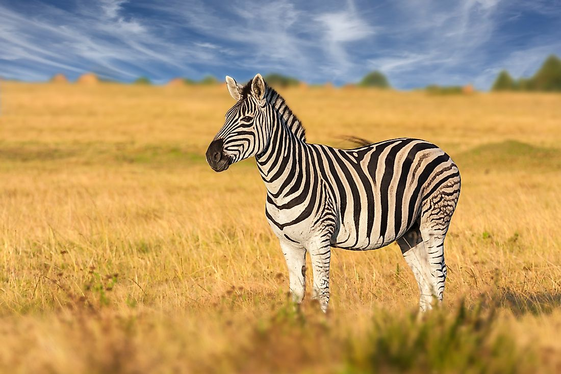 A zebra in its preferred habitat of grassland.