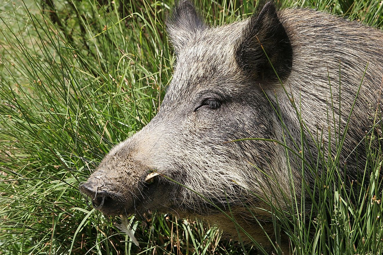 Close up of a wild pig in New Zealand. Image credit: Sue McDonald/Shutterstock.com