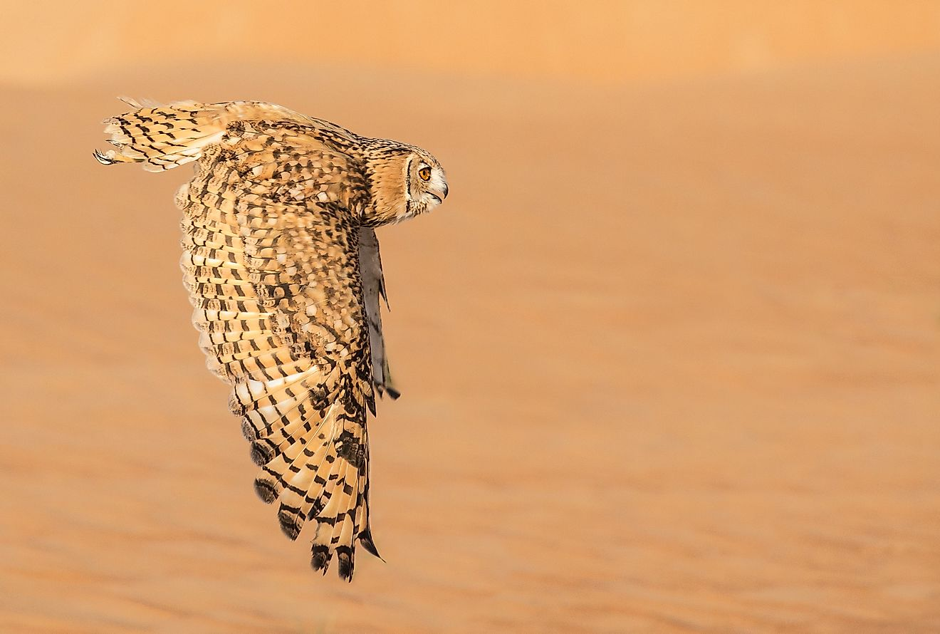 Desert Eagle Owl mid flight in Dubai Desert Conservation Reserve in United Arab Emirates. Image credit: Kertu/Shutterstock.com
