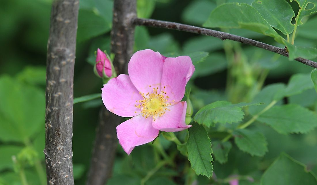 The wild prairie rose is found throughout the state of North Dakota.