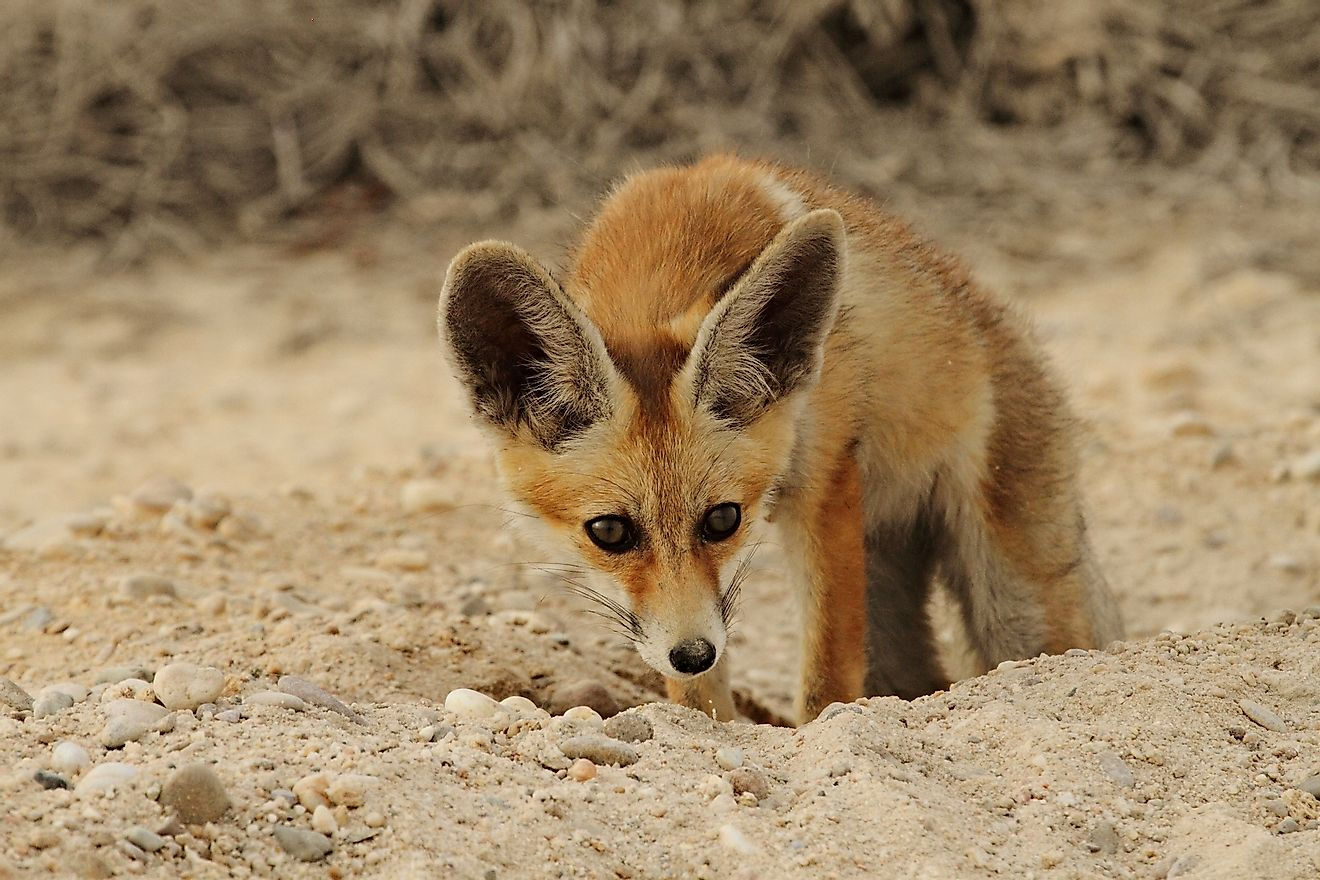 Arabian red fox getting out of its burrow in the Qatari Desert. Image credit: Abdelrahman Hassanein/Shutterstock.com