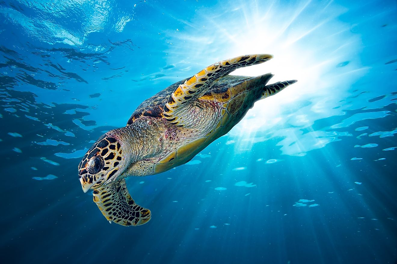 Hawksbill sea turtles can be found in Anguilla.