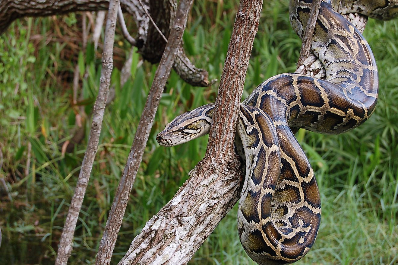 Burmese Python in the Everglades is an invasive species. Image credit: Heiko Kiera/Shutterstock.com