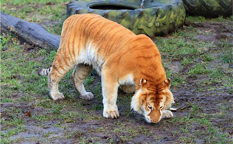 A liger, a hybrid offspring of a female tiger and a male lion.