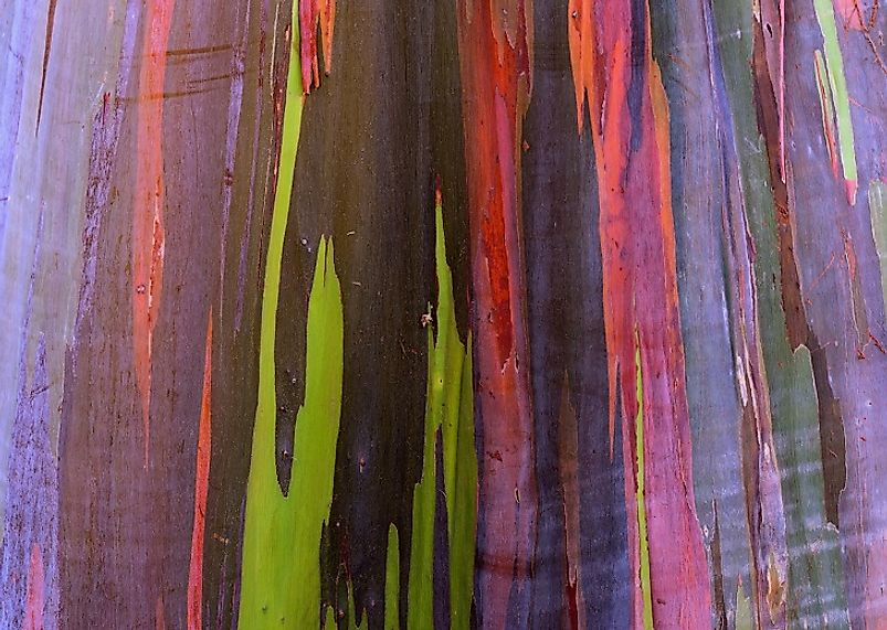 The naturally occurring, multi-colored bark of the aptly named Rainbow Eucalyptus.