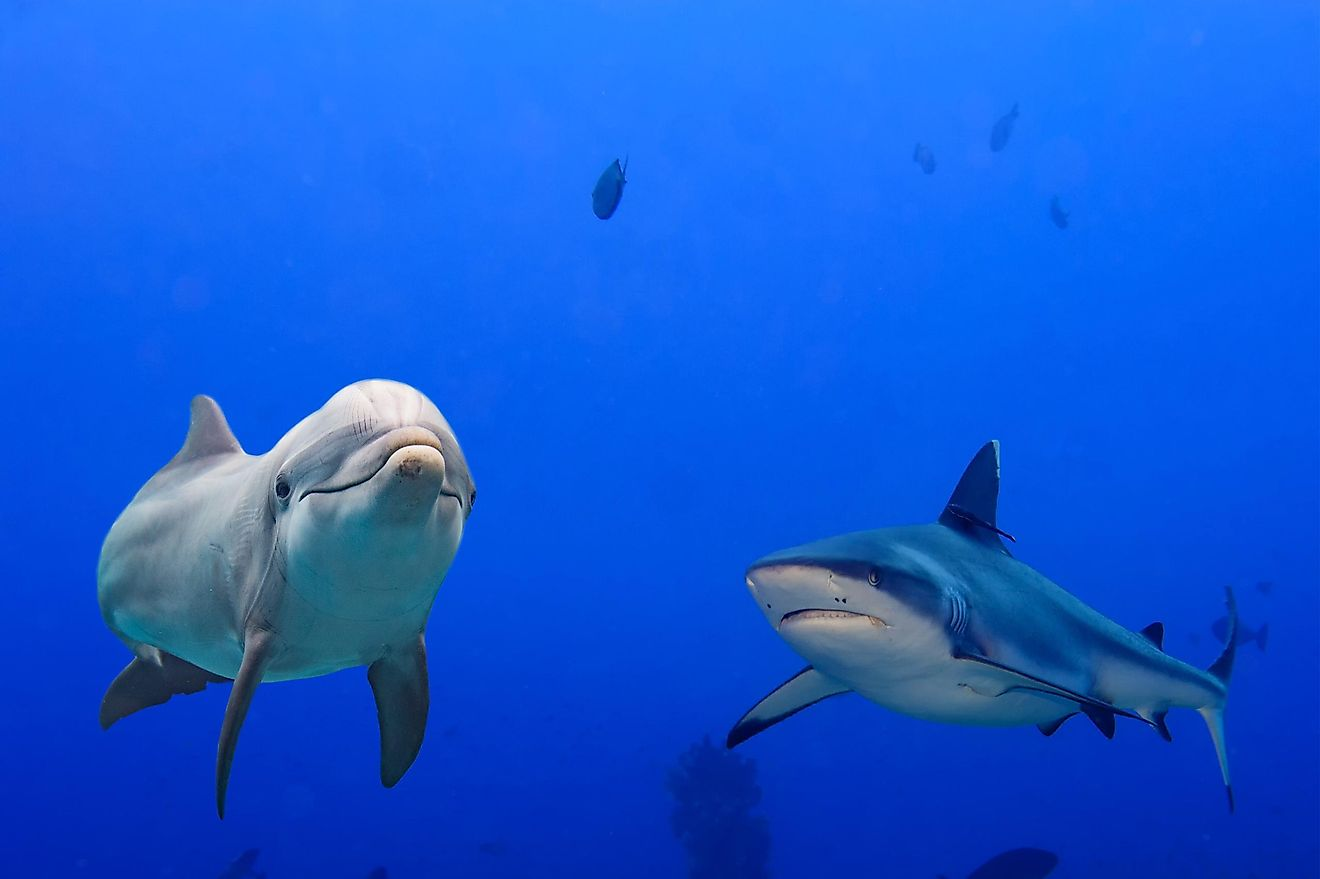 A dolphin with a grey shark.
