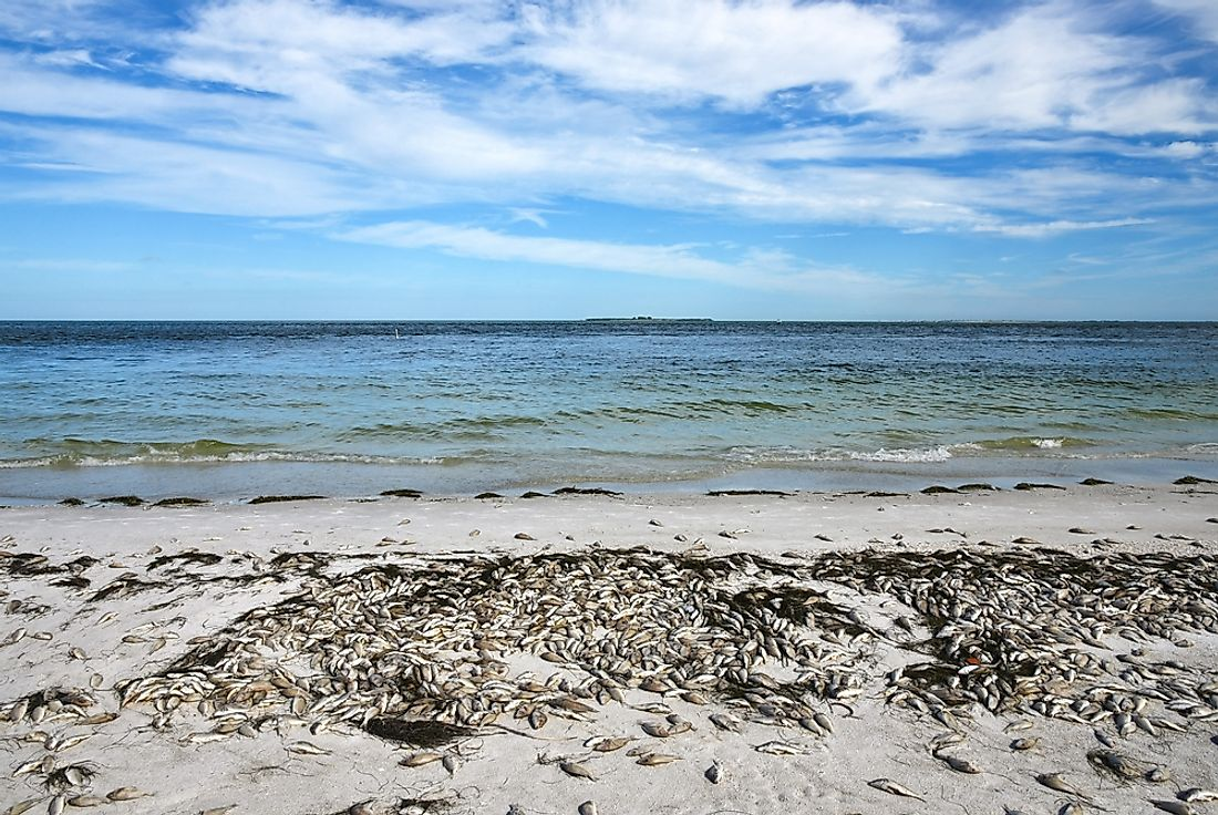 Beach littered with dead fish from the Florida Red Tide.