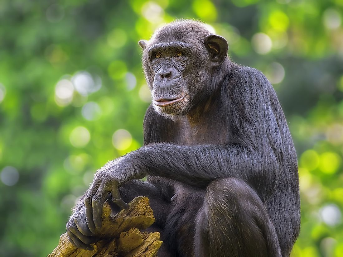 The common chimpanzee, which is native to Angola.