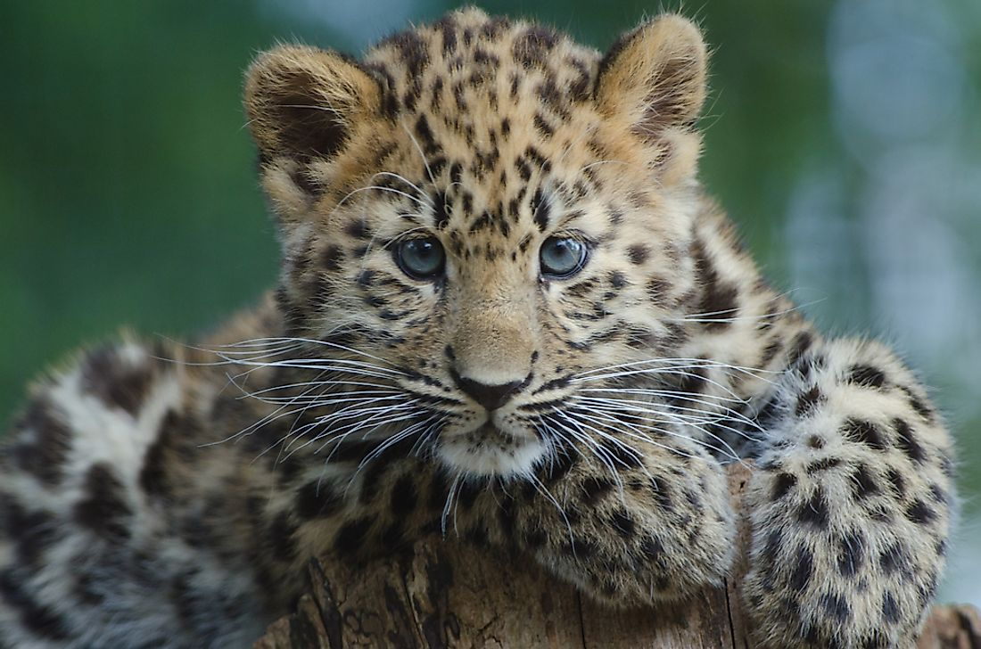 An Amur leopard cub. It is estimated that there are as few as 35 Amur leopards left in the wild.