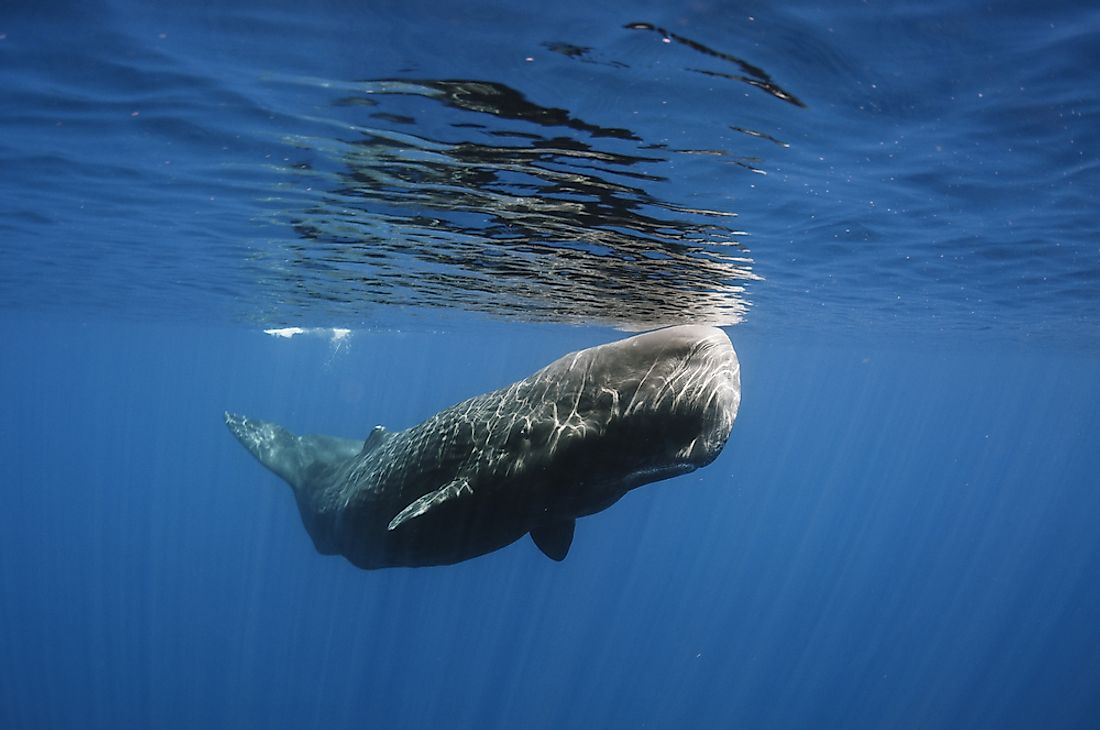 A sperm whale off the coast of Sri Lanka.