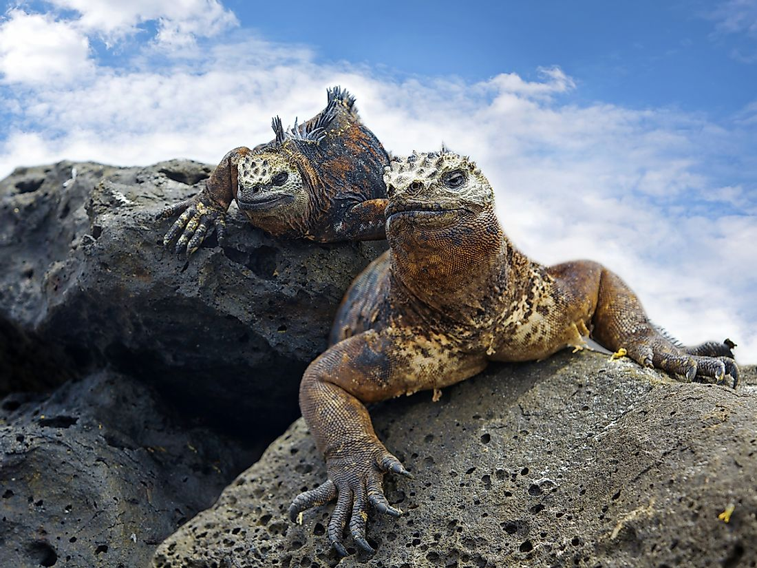 Photo snapped of Galapagos Marine Iguanas.