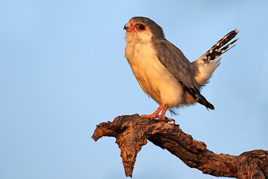 A pygmy falcon in South Africa.