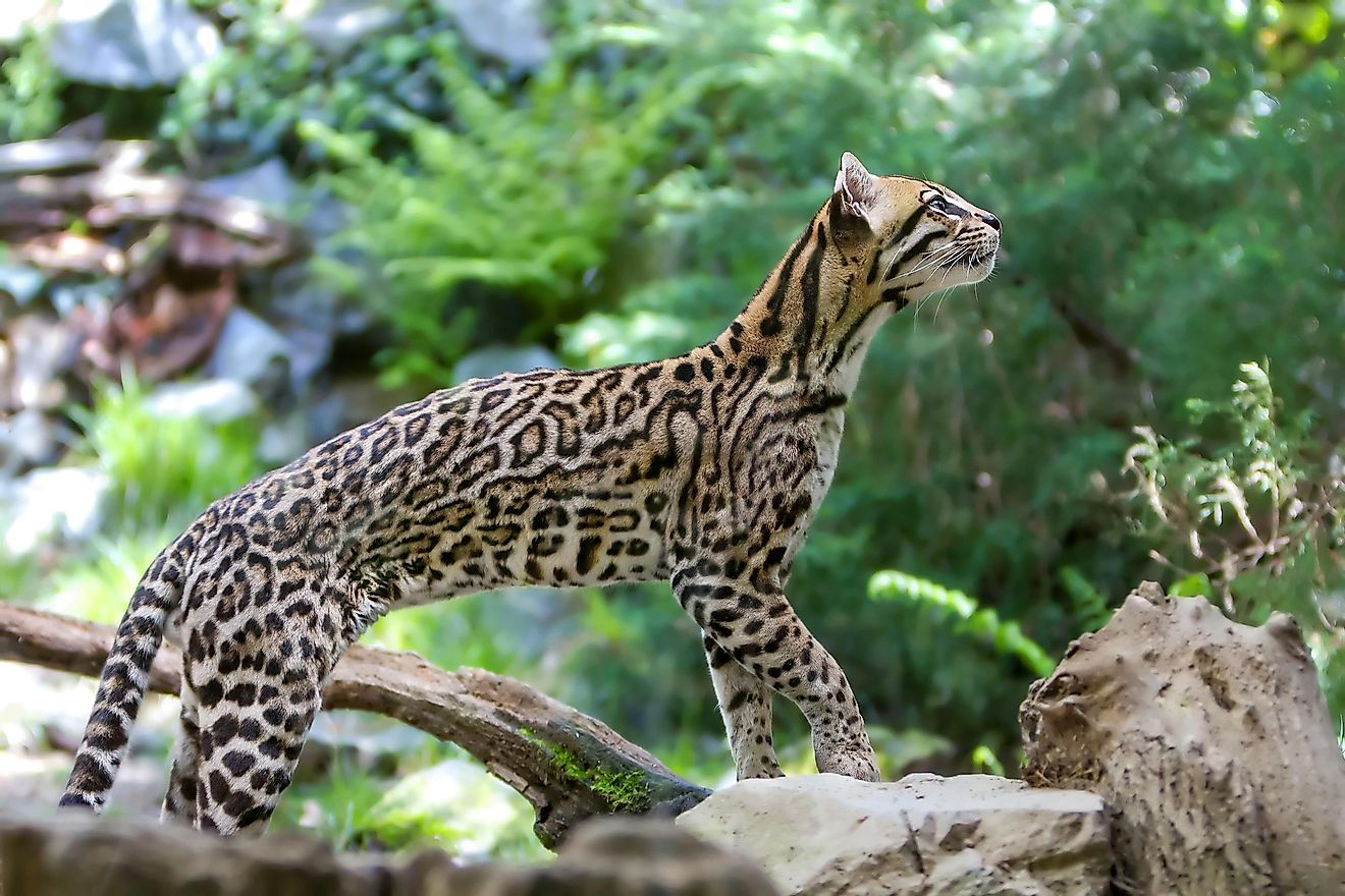 An ocelot is a type of wild cat found in Central America.