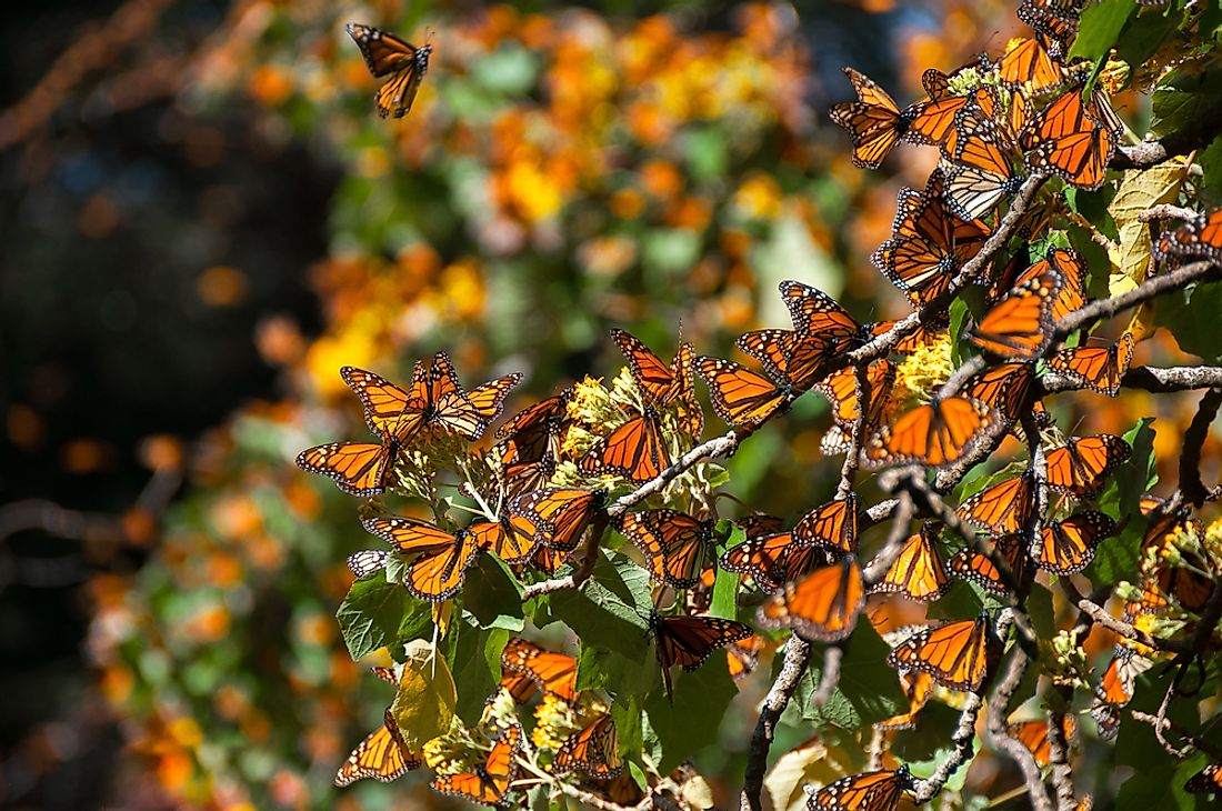Butterflies at the Monarch Butterfly Biosphere Reserve in Mexico.