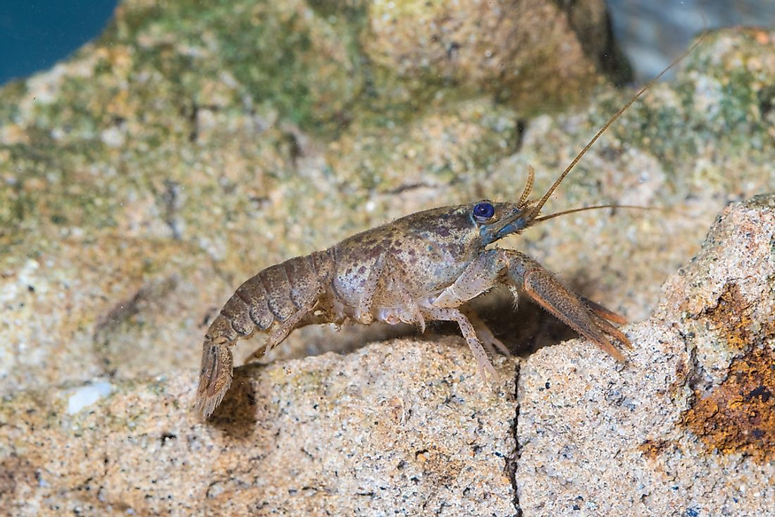 Insects and crustaceans, such as this crayfish, have similarities such as exoskeletons and antennae.