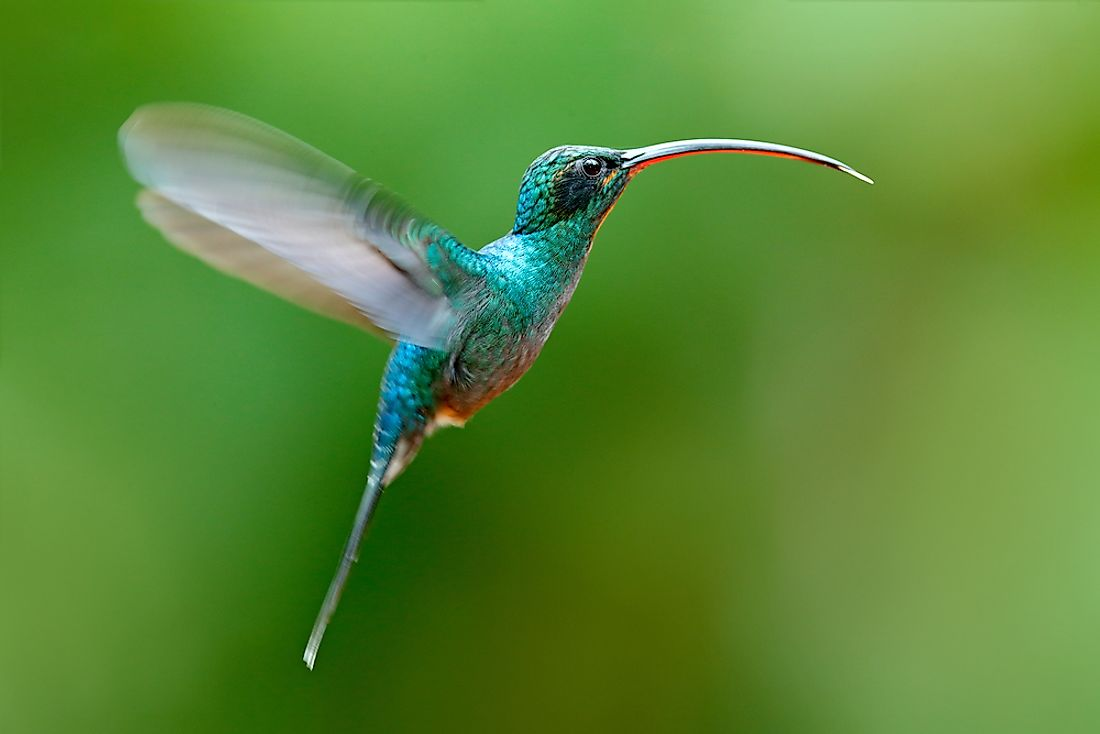 The hummingbird is said to be the only bird that can fly backwards.