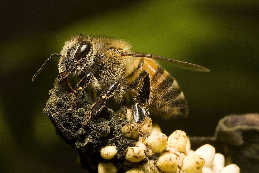 Africanized bees are hybrid honey bees.