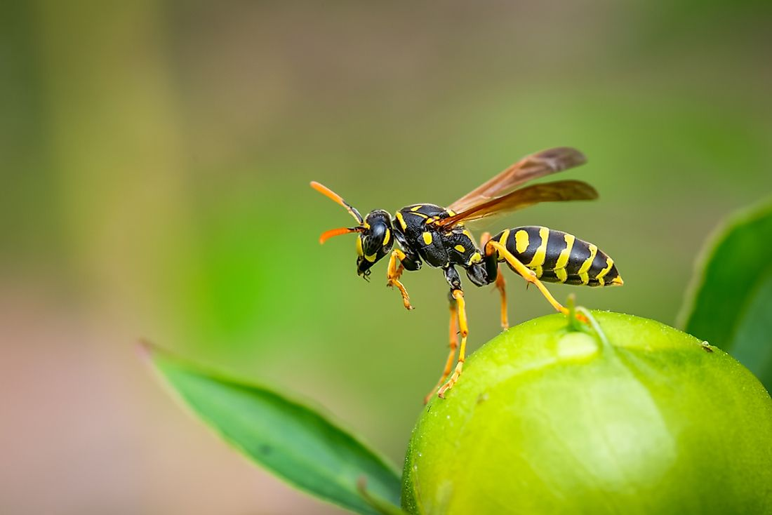 Wasps differ from bees in a number of ways.