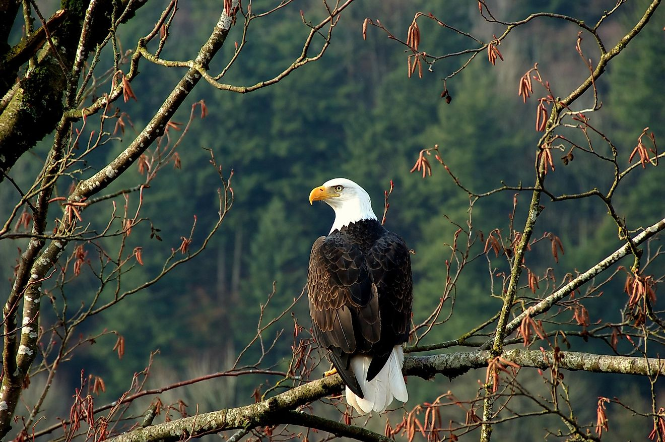 Bald Eagle perched on a tree in Canada. Image credit:  Ingvar Grimsmo/Shutterstock.com