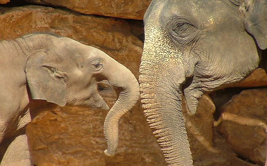 Elephants, mammals with the longest gestation period of all terrestrial mammals, share a close bond with their offsprings