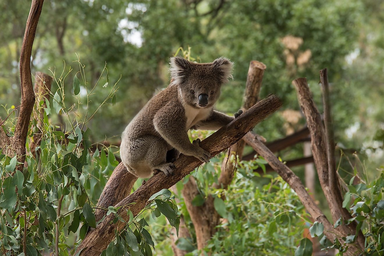 The koala bear plays a very significant role in this eucalyptus forest ecosystem of Australia but unfortunately suffers from many threats to its survival.