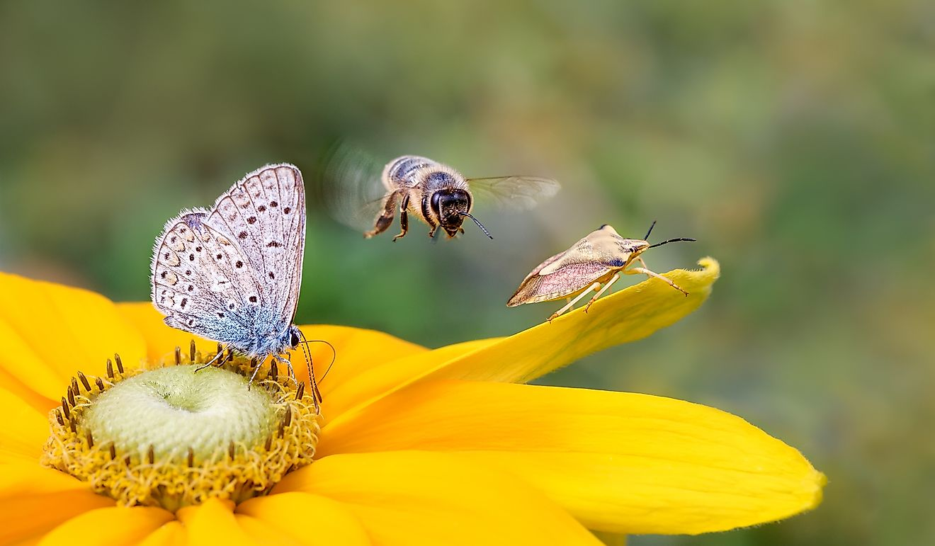 Insect biodiversity on a flower, a butterfly common blue Polyommatus icarus, a bee Anthophila in flight and a shield bug Carpocoris fuscispinus on a yellow Rudbeckia.