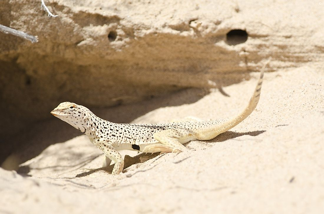 Many subspecies of the desert-dwelling Fringe-toed lizards have populations that are either Nearly Threatened, Theatened, or even Endangered.