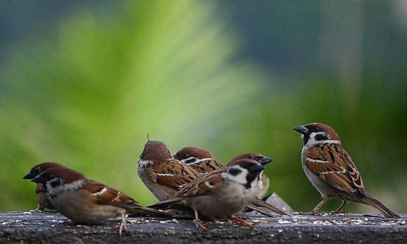 Sparrows have been companions of humans for centuries but are fast disappearing due to adverse human activities.