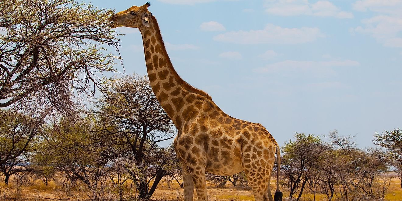 Giraffes' claims as being the tallest terrestrial animals today are facilitated by their exceptionally long necks.