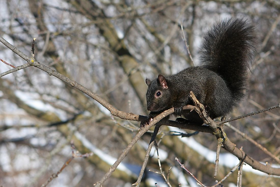 A black squirrel with a thick winter coat.