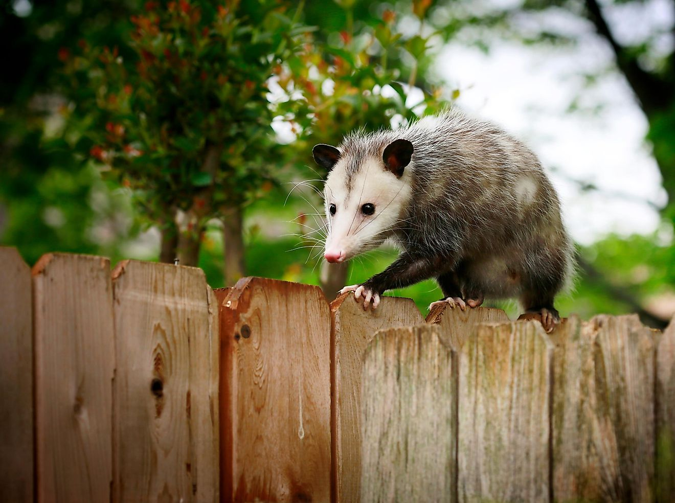 Opossum walking on a backyard fence.