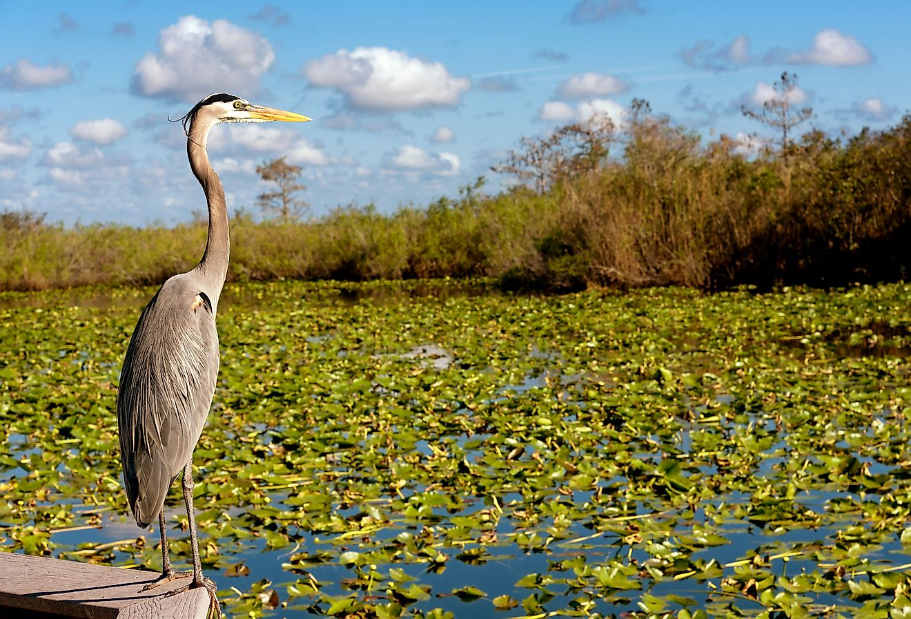 A heron next to the water lilies at Everglades National Park.