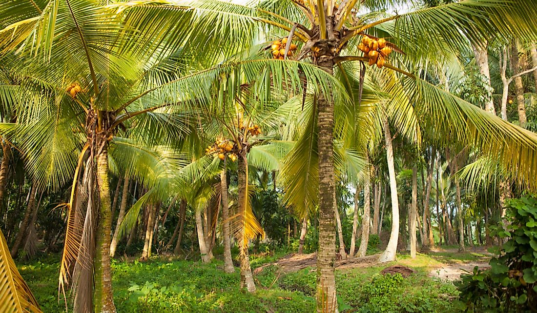 A coconut plantation in Sri Lanka.