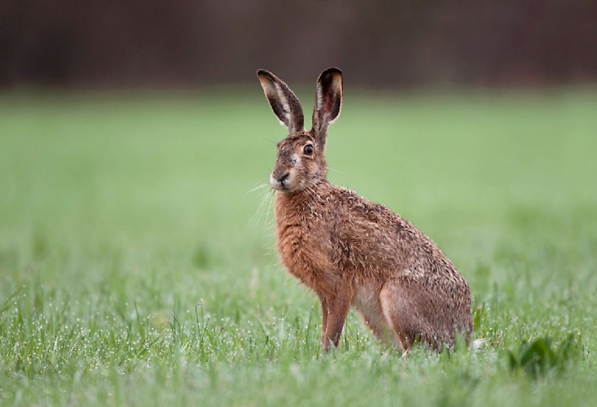 From apperances in Aesop's Fables to Alice in Wonderland, the European Hare's widespread range has made it into a cultural icon throughout many nations.